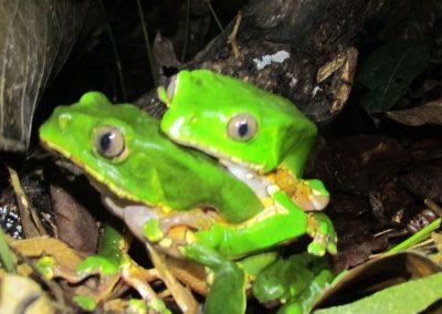 corto-maltes-frogs