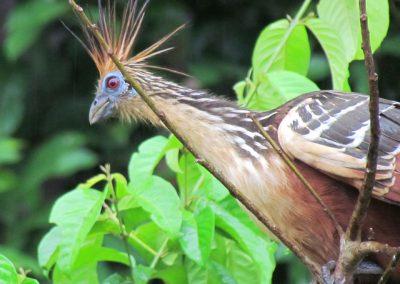 manu-birds