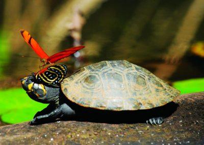 tortois-peru